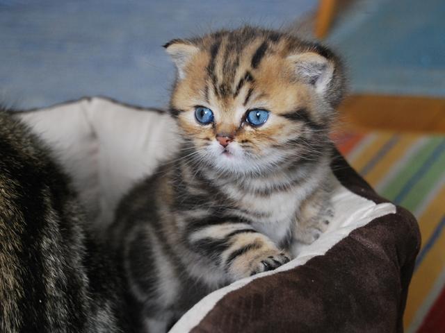 Deulisses Bursztynowy Gryfpl Bursztynowy Gryfpl Koty Brytyjskie